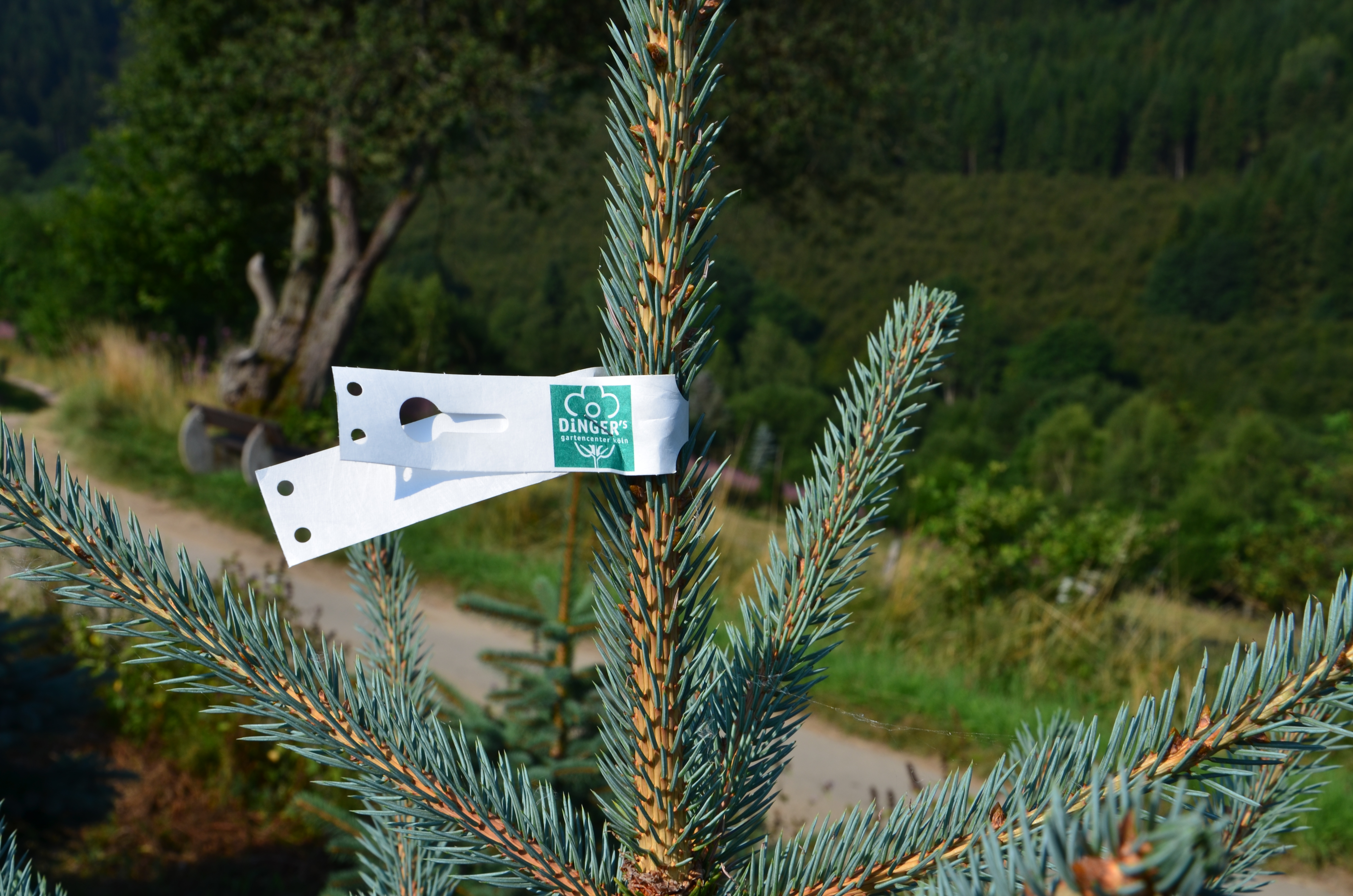 markierte Spitze eines Weihnachtsbaumes