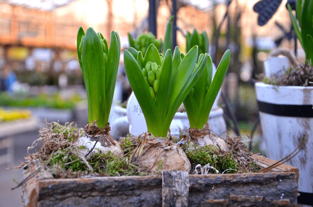Hyazinthen blühen bereits im Winter nicht erst im Frühling