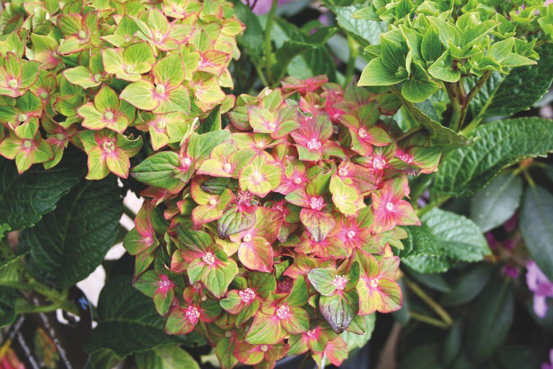 Hortensien Im Schatten hortensien frische farben im schattigen grün