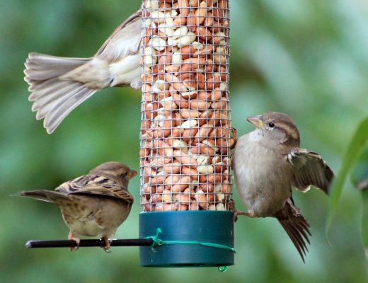 sparrows-1650728_1920