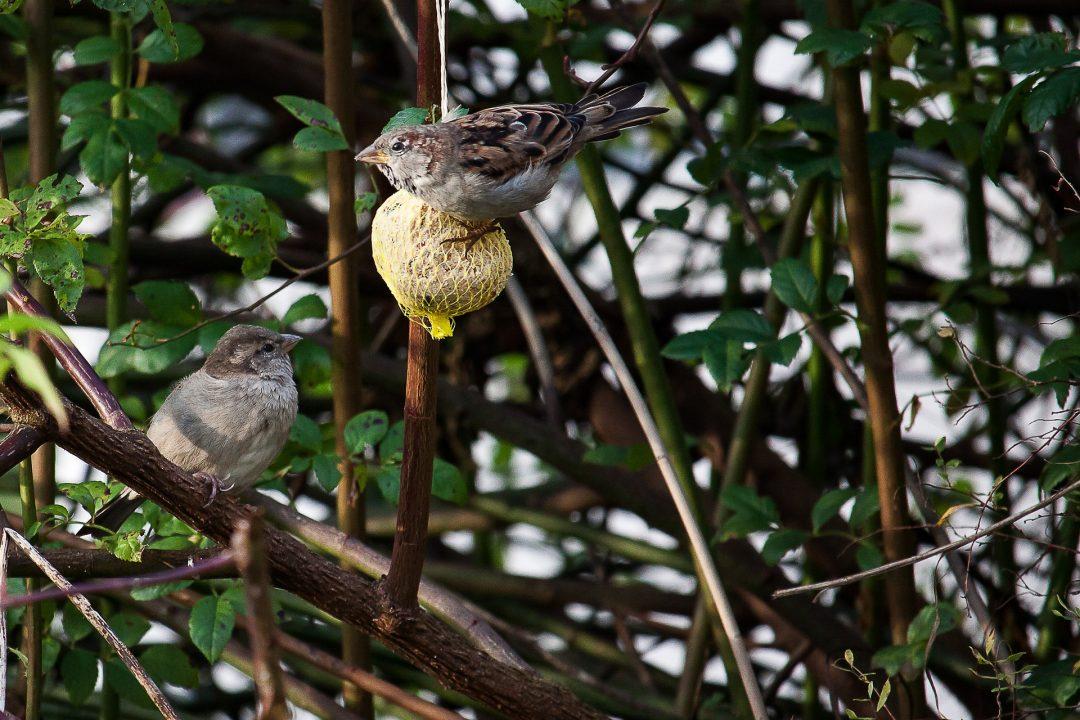 sparrows-2986390_1920