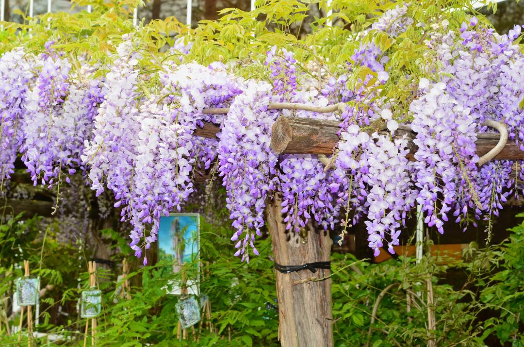 Blauregen (Wisteria) in voller Blüte