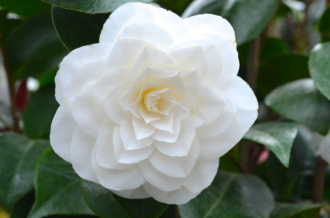 Weiße Kamelienblüte