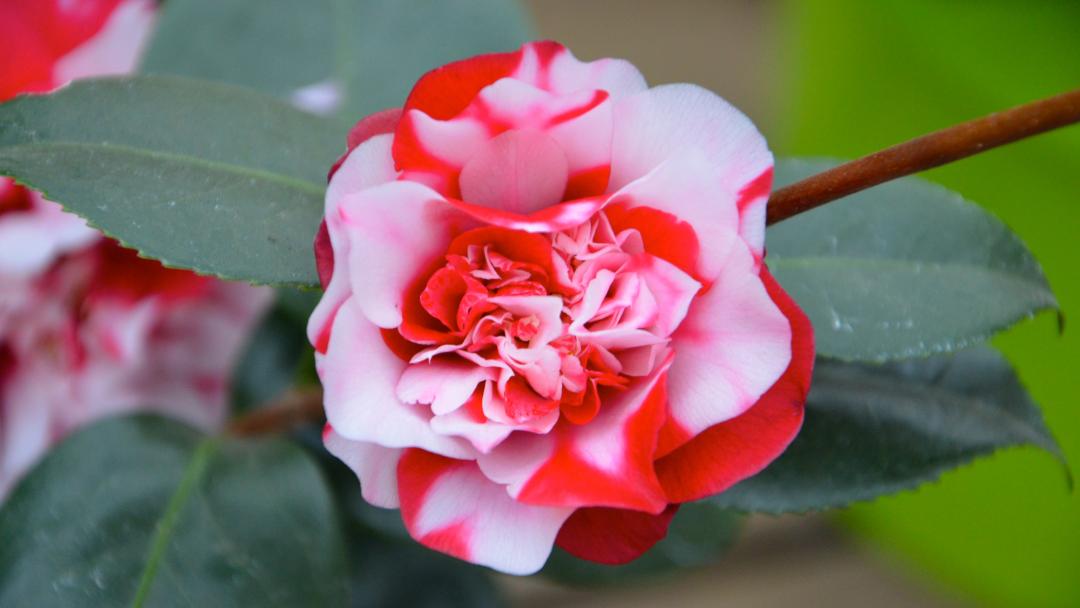 Rot-weiße Kamelienblüte, stark gefüllt