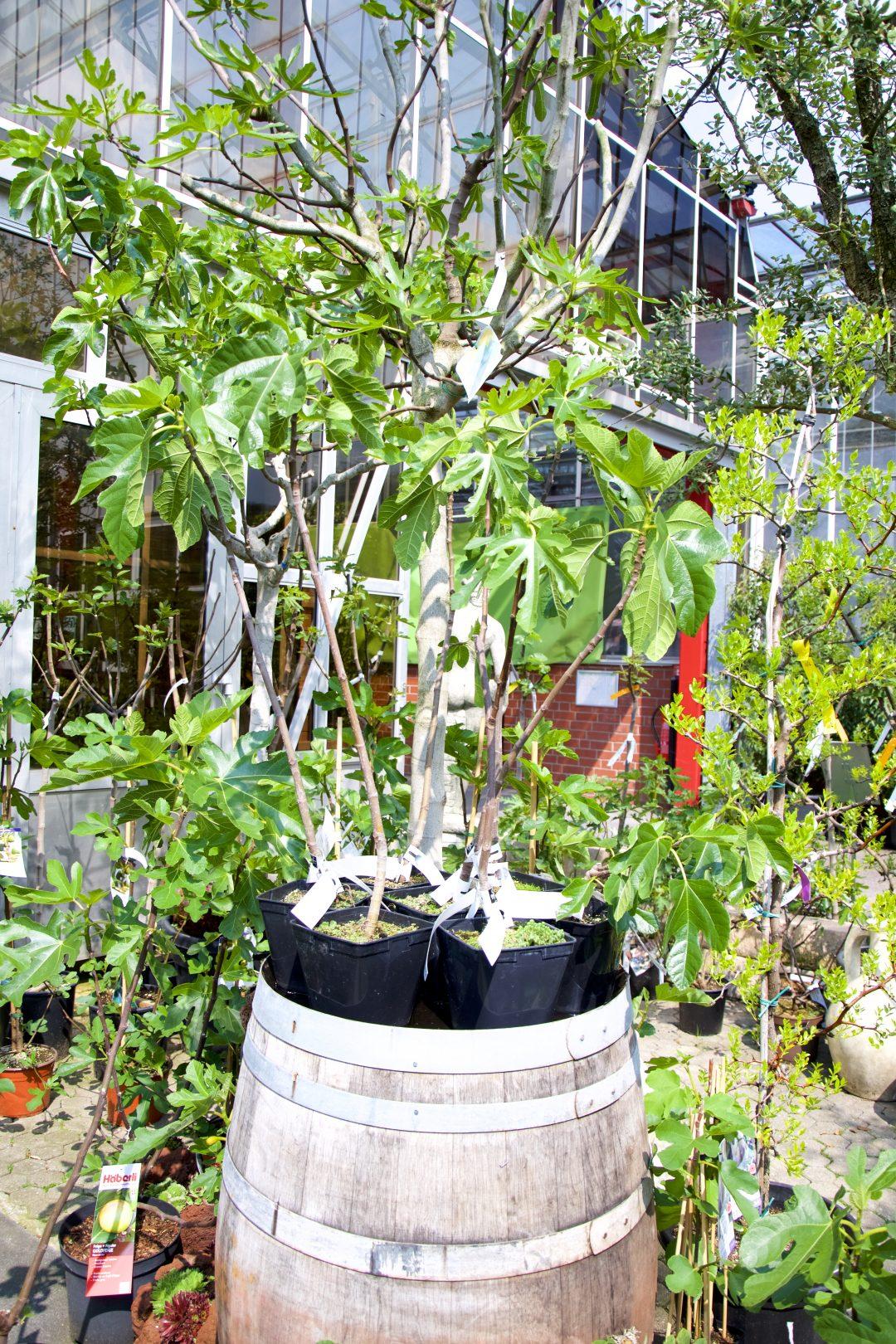Feigenbäume im Gartencenter