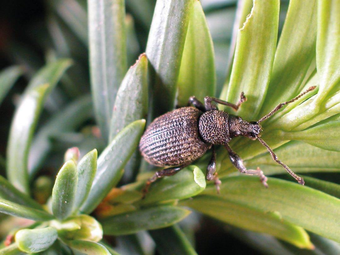 Der Dickmaulrüssler zähl zu den gefährlichsten Schädlingen