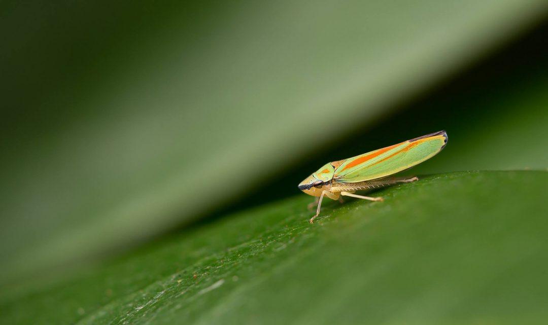 Ein weiterer Schädling - die Zikade