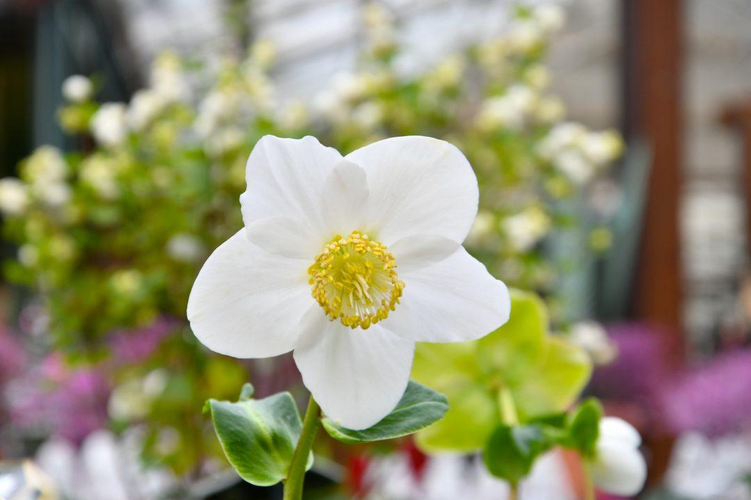 Weiße Blüte einer Christrose