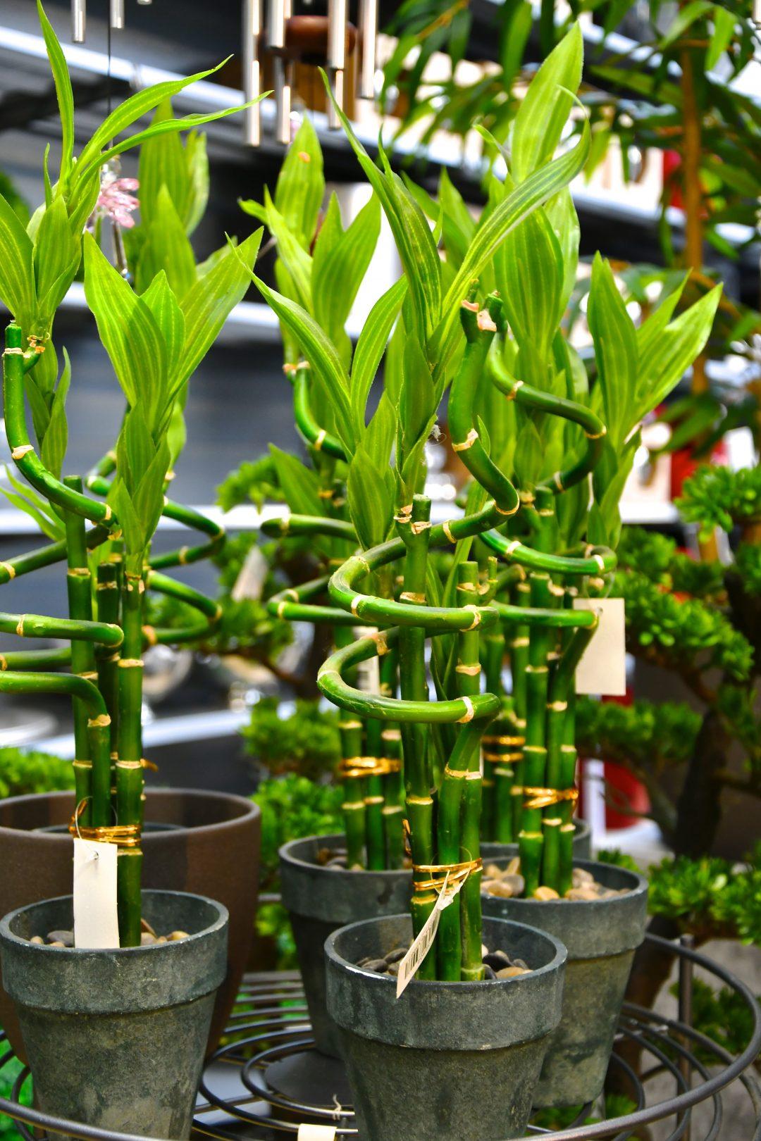 """Auf diesem Bild sieht man """"Lucky Bamboo"""" den sogenannten Glücksbambus in künstlicher Form. Diue Bambusstämme sind in diesem Fall jedoch echt und nur das obere Blattwerk ist künstlich."""