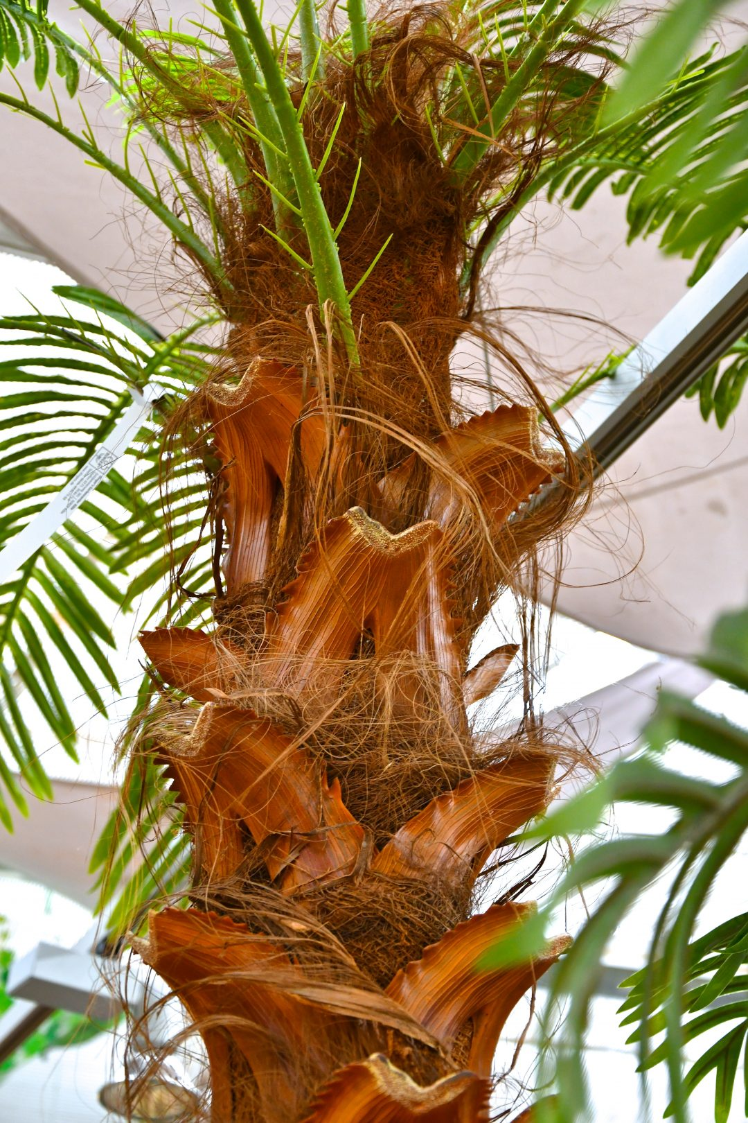 Auf diesem Bild sieht man den Teil einer künstlichen Palme. Der Stamm ist dabei allerdings Teil einer echten Palme, mit echtem holz und Kokosfasern.