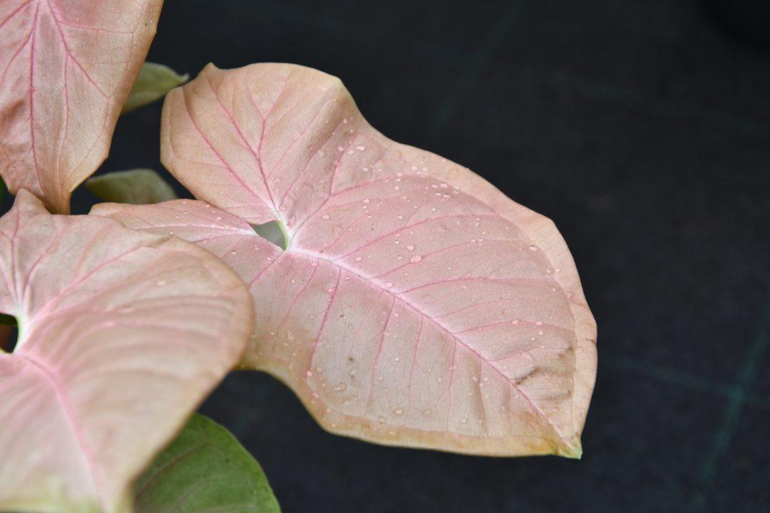 Die Blätter einer Alocasia