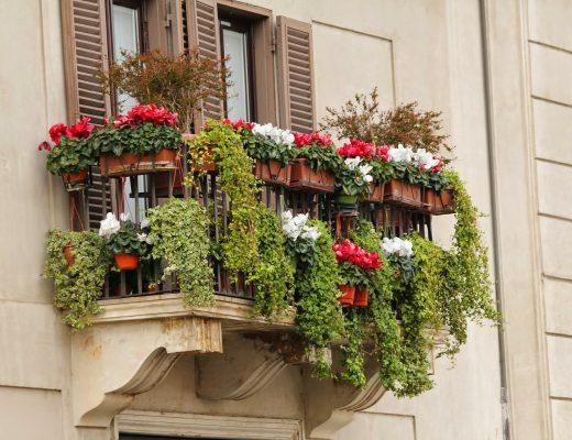 Balkon bepflanzt mit Alpenveilchen und Efeu. Man sieht außerdem zwei kleine Gehölze links und rechts auf dem Balkon.