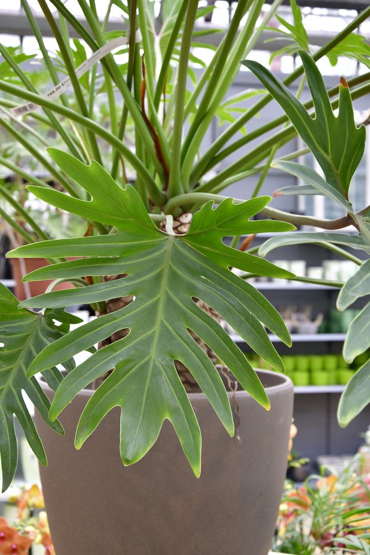 Blatt eines Philodendron Xanadu