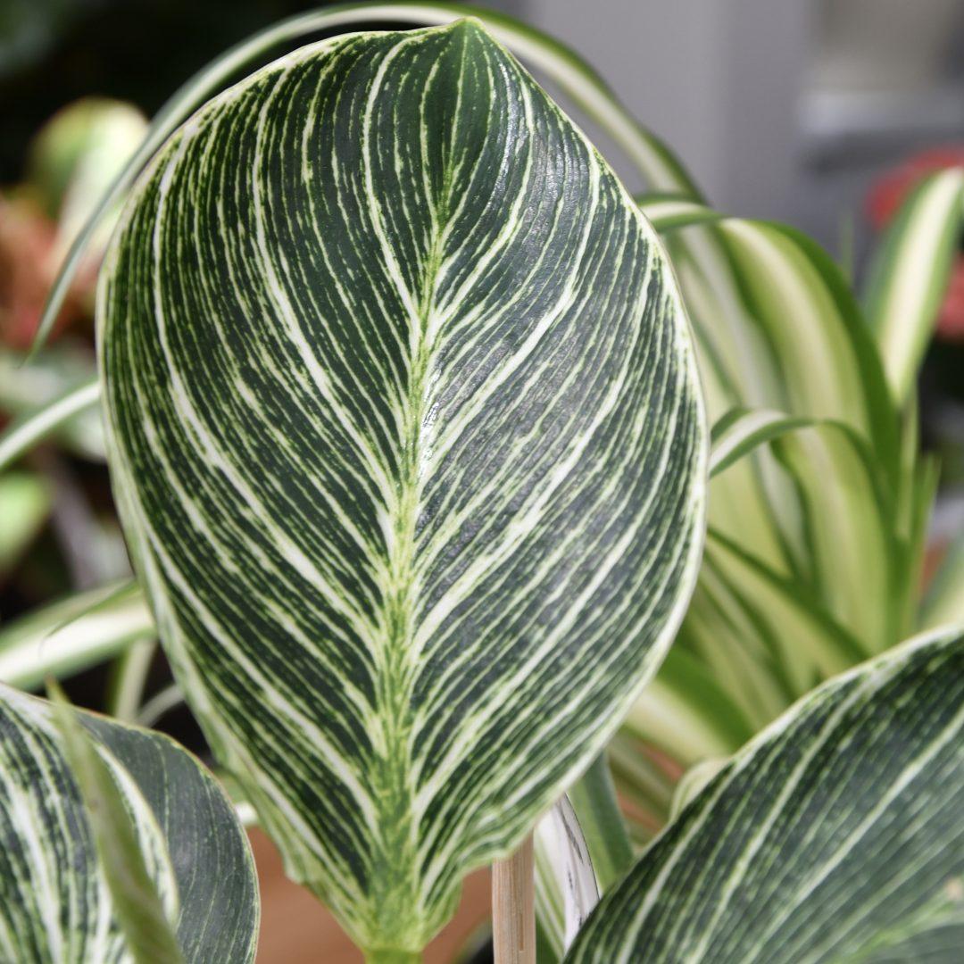 Philodendron Sorte Birkin. dunkel grünes Blatt mit hellgrüner Äderung.