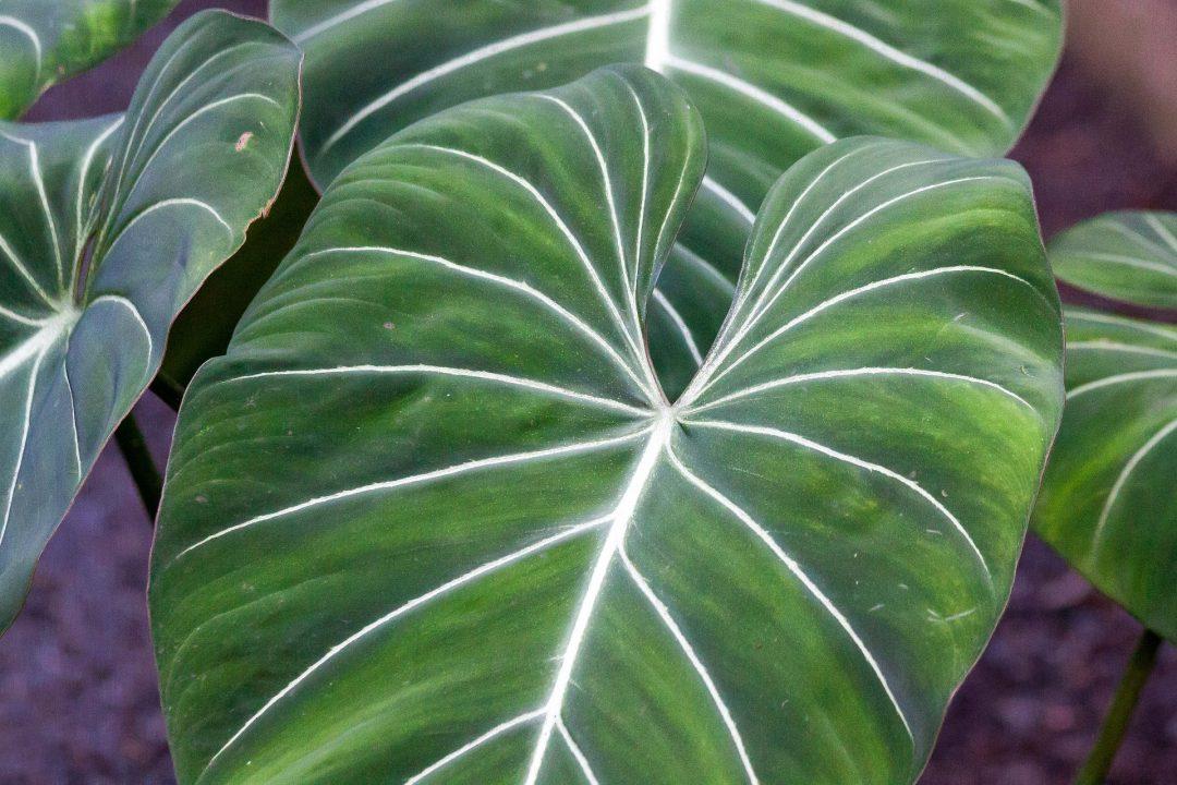 Blätter eines Philodendron gloriosum