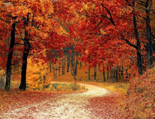 herbstlicher Waldweg welcher von Bumen mit rotem Laub umgeben ist