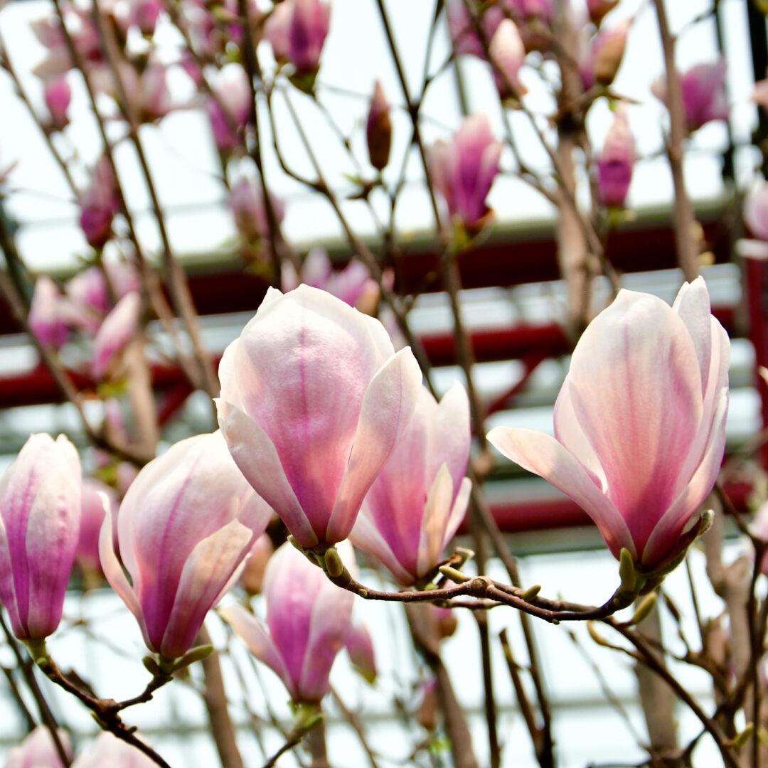 Blüte einer Magnolie