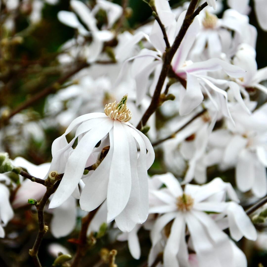 Blüten einer Sternmagnolie