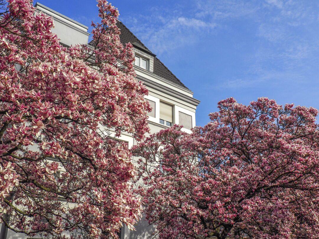 Blühende Magnolien Bäume