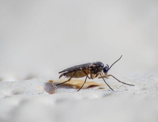 Trauermücke in Nahaufnahme