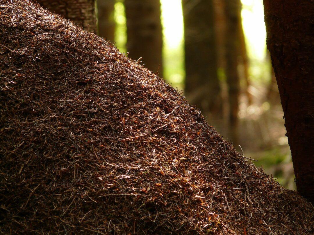 Ameisenhügel der Roten Waldameise